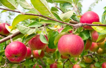 Fruit Tree pruning- Apple Tree