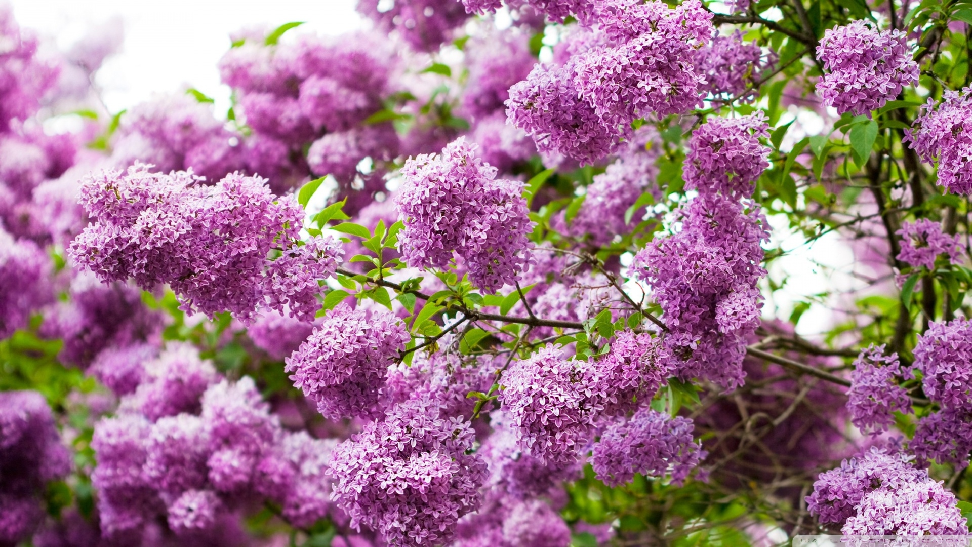 pruning of shrubs Lilac