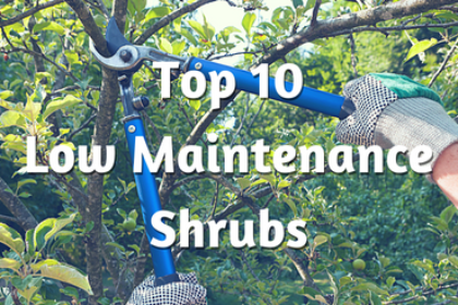 top-10-low-maintenance-shrubs